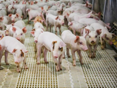 Zinc may influence gut health, immune competence of pigs