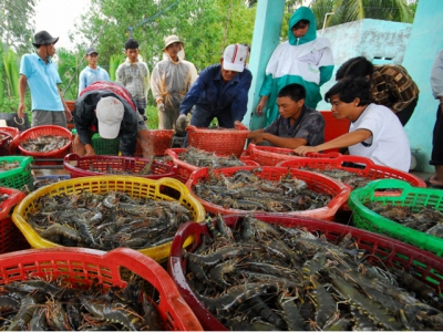 Prices of shrimp material bounce back