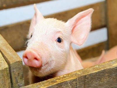 How to start the piglet off well – tune in to our live webinar