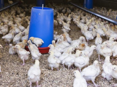 Activity level of broilers decreases as birds age