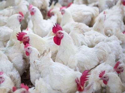 β-mannanase feed additive may boost broiler microbiota diversity