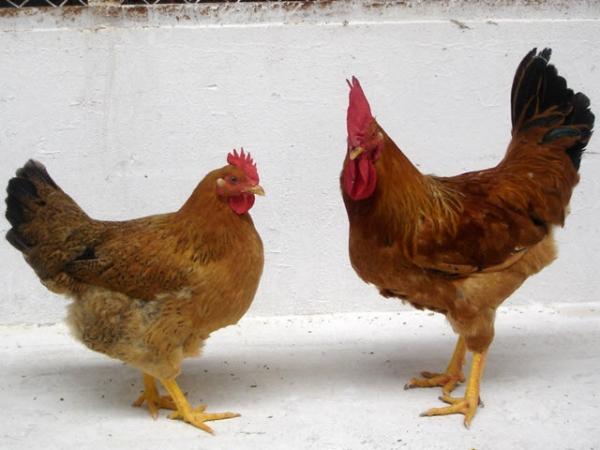 Gà Lương Phượng là gì? Kỹ thuật nuôi gà Lương Phượng thế nào?  1995128806