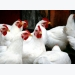 Can yeast derived beta glucans improve the intestinal health of broilers?