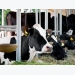 Metabolite profiles provide clue to LifeStart benefits for calves: Trouw Nutrition