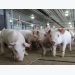 Wheat-DDGs drop feed efficiency in young swine diets, don't alter intake