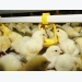 Research shows enzymes improve energy release for broilers