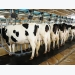 Dairy calf diets: what is the impact of nutrition on gene expression