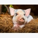 Pig growth, gut health may see boost from protease supplements