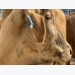Fitness tracker for cows to help farmers