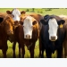Beef checkoff transparency lawsuit proceeds