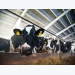 Alternative antimicrobial chitosan may boost dairy cow feed efficiency