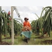 Binh Thuan: Over 30 percent of dragonfruit land under VietGap