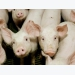 Soybean meal may provide energy boost for swine