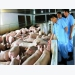 Nearly 6 million pigs destroyed due to African swine fever