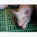 Is U.S. pork industry ready for African swine fever?