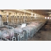 Investing in animal welfare pays off for German piggery