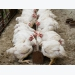 Inulin supplement provides antibiotic alternative, supports broiler meat quality