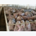 New swine industry council to focus on protecting animal, public health