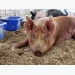 Tips for tackling issues in swine nutrition