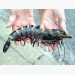 Minh Phu's next big bet is on organic black tiger shrimp