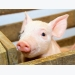 Piglet gut health linked to high feed intake