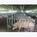 VN livestock industry in danger as imports are too cheap