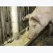 Pig nutrition study may prevent future PEDv outbreaks
