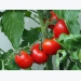 Tips for Growing Tomatos and Growing Tomato Plants