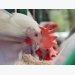 Dietary curcumin may boost egg quality, hen health