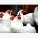 Reducing feed phosphate cost for laying hens