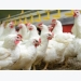 7 keys to antibiotic-free poultry production