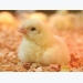 High-fiber diets for broiler versus layer chicks