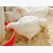 Controlling poultry gut health for maximum performance