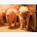 Plasma as alternative to antibiotics in piglet diets