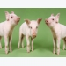 Preweaning pig mortality called major production loss