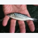 Stocking rate effects on growing juvenile sunshine bass