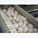EU layer breeders adapting hens for cage free conditions