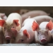 6 basic feed ingredients in antibiotic-free piglet diets