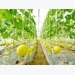 Farmers grow more honeydew melons by irrigation drip method