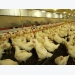 Designing poultry nutrition programs to optimize profitability