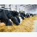 Multidisciplinary approach for dairy cow longevity