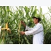 Farmers optimistic about genetically modified maize