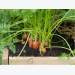 Expert Tips for Growing Carrots and Parsnips