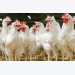4 keys to US poultry industry profitability in 2017