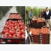 Domestic market will be key for Spanish tomatoes in future