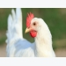 Genetic architecture of survival examined in laying hens