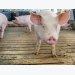 How to train gilts for electronic sow