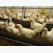 Perinatal imprinting in poultry benefits performance