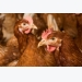Laying hen behaviour: Artificial vs natural ammonia