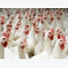 Broiler breeders strive for balance in their lines